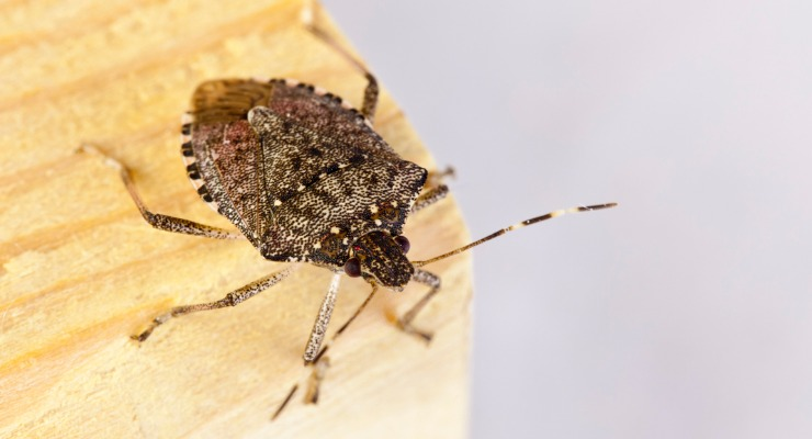 Why the Brown Marmorated Stink Bug Could Delay Your Container from China